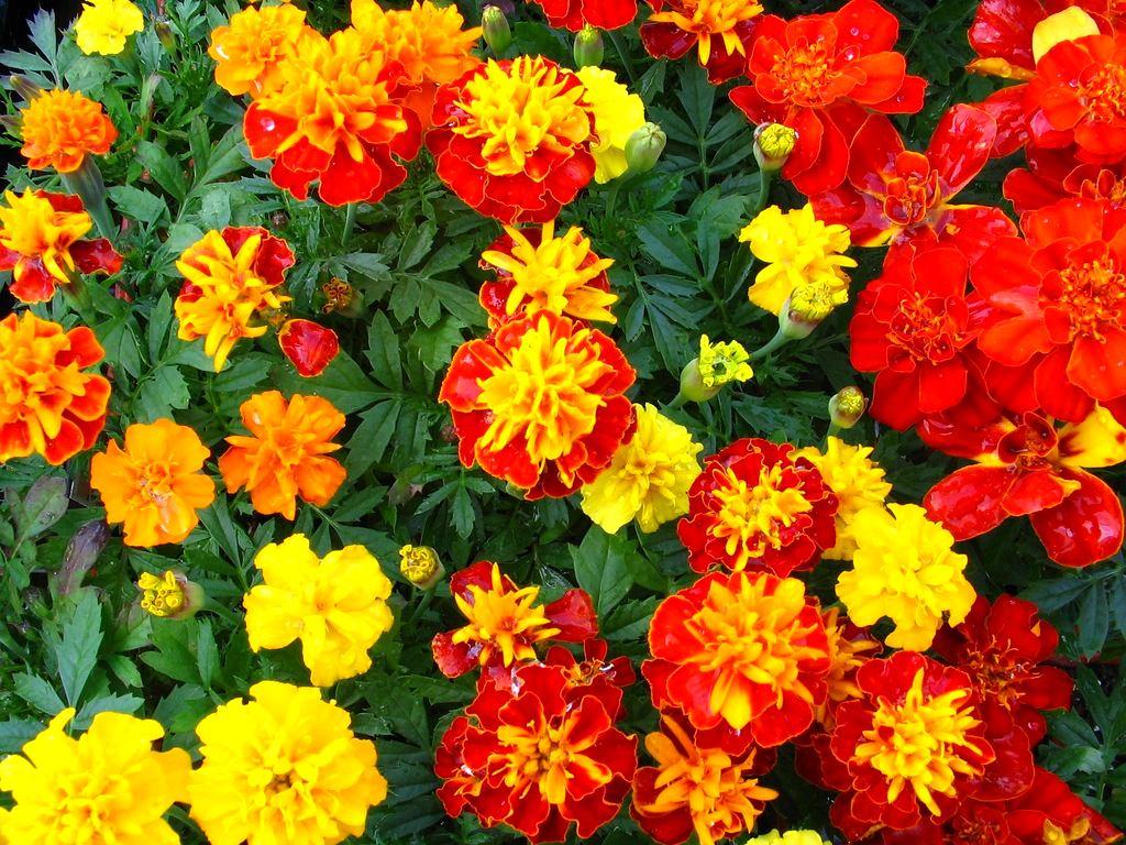 Ландшафт в цветах: красный, оранжевый, бордовый, лимонный, темно-зеленый. Ландшафт в .