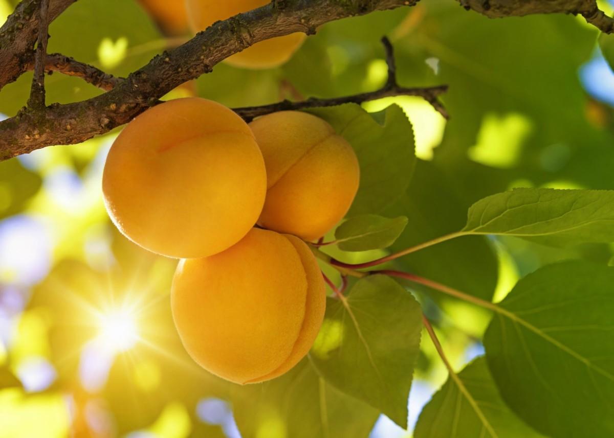 Какие плодовые деревья можно сажать осенью: зимостойкие сорта и особенности посадки